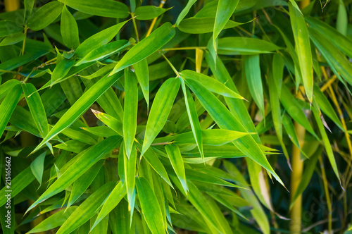 Papiers peints Bambou leaves and trunks of young bamboo on a dark background