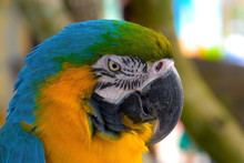 Close Up Of Blue And Gold Macaw Parrot. Exotic Colorful African Macaw Parrot, Beautiful Close Up On Bird Face Over Natural Green Background, Bird Watching Safari, South Africa Wildlife. 4K