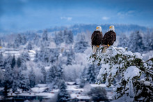 Two United Bald Eagles Perched Together