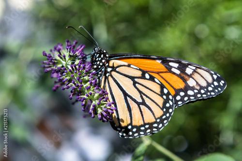 Butterfly 62