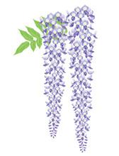 藤の花. 和風イメージ