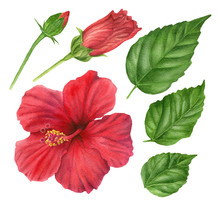 Watercolor Red Hibiscus. Set Of  Floral Design Elements : Flower, Leaves, Buds.