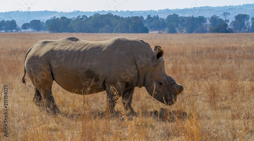 Fotobehang Neushoorn White rhino dehorned for protection against poaching in South Africa image with copy space in landscape format