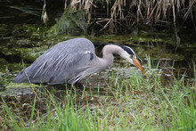 A Young Great Blue Heron Fishing In A Water Grass Algae Filled Ditch.
