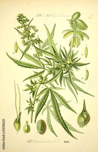 Obraz Marihuana - fototapety do salonu