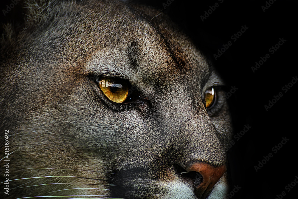 Close-up of cougar