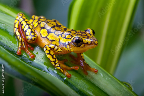 Canvas-taulu Harlequin poison dart frog