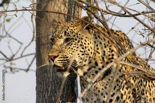 Spoed Foto op Canvas Luipaard Close up of this majestic leopard resting in the late afternoon waiting for nightfall and on the lookout for prey in the grassland and tree lined mound lookouts in africa