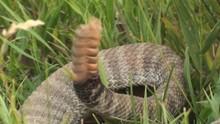 P02065 Closeup Of Rattlesnake Rattles Rattling