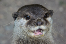 Cute Otter Portrait With His Mouth Opened, Headshot Only
