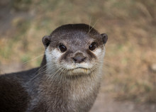 Cute Otter Portrait, Head And Neck Only With His Mouth Closed