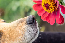 The Dog Sniffs The Pink Flower Of Zinnia. Close-up_
