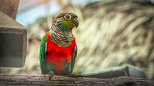 Red Parrot Catch On Wooden.Wildlife Scene From Tropic Nature.
