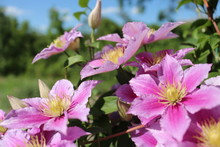Beautiful Pink Clematis Flower сurling In The Sky Background