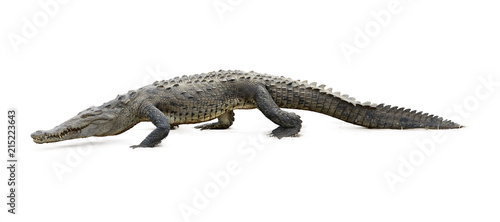 Photo sur Toile Crocodile Isolated on white background, American Crocodile, Crocodylus acutus walking on the sandy beach. Crocodile in its natural environment. Tarcoles river, Costa Rica.
