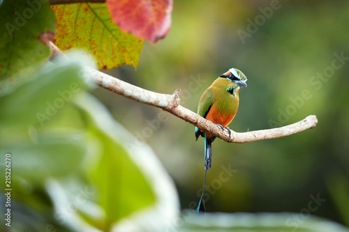 Fototapeta premium Isolated Turquoise-browed motmot, Eumomota superciliosa, tropical bird with racketed tail native to central America, national bird of El Salvador and Nicaragua. Costa Rica wildlife photography.