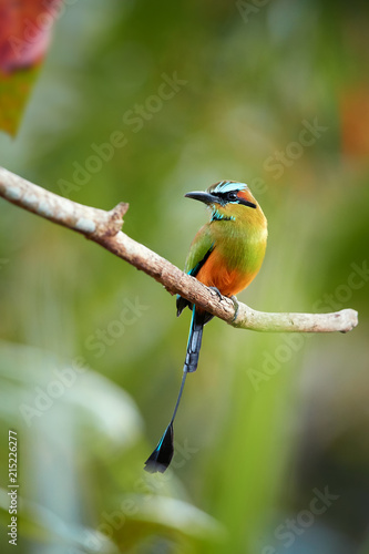 Vertical photo of Turquoise-browed motmot, Eumomota superciliosa, tropical bird with racketed tail perched on twig against blurred rainforest. National bird of El Salvador and Nicaragua. Costa Rica.