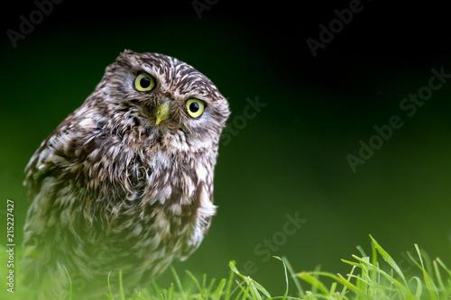Fotobehang Uil Little Owl portrait
