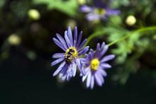 Sydney Australia, Native Bee On Purple Daisy With Yellow Centre