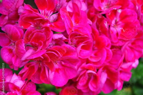 Poster Rose jardin du château de dunvegan ecosse ile de skye