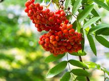 Unch Of Red Rowan Berries. Aut...