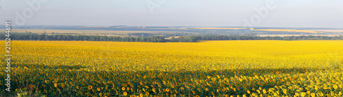 Keuken foto achterwand Meloen yellow field of sunflowers at dawn with spectacular sky.