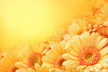 Summer/autumn Blossoming Gerbera Flowers On Orange Background, Bright Floral Card, Selective Focus