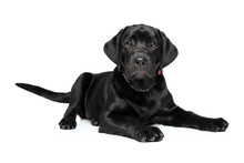 Labrador Puppy On White Backgr...