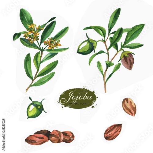 Fotografie, Obraz  Hand drawn watercolor jojoba collection isolated on white background