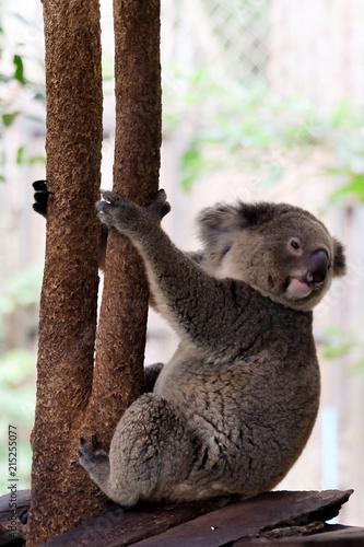 Staande foto Koala koala bear in forest zoo at Thailand