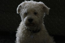 Male Schnoodle Sitting And Loo...