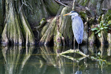 A Gray Heron On A Root That Protrudes Above The Water Of The Pond