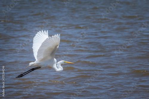 Εκτύπωση καμβά  Great Egret (Ardea alba) in Flight