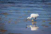 A Snowy Egret (Egretta Thula) Wading On A Shoreline
