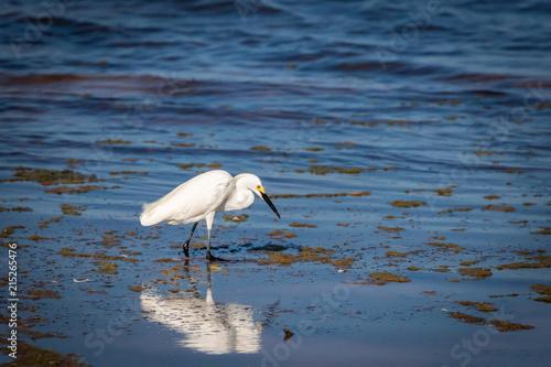 Εκτύπωση καμβά  A Snowy Egret (Egretta thula) wading on a shoreline