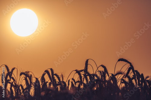 Setting sun and wheat field
