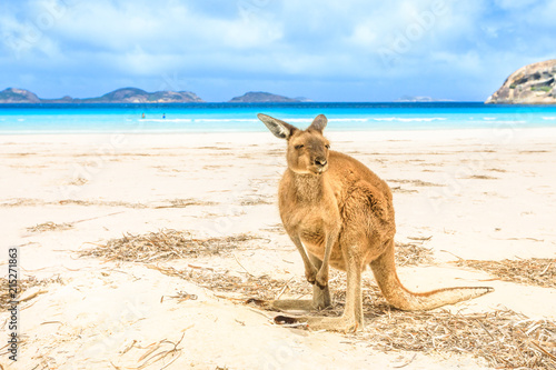 kangaroo standing at heavenly Lucky Bay in Cape Le Grand National Park, near Esperance in WA. Lucky Bay is the famous half moon of fine white sand known for its friendly kangaroos.