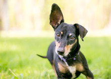 A Small Mixed Breed Dog With O...