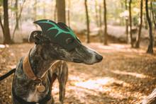 Greyhound Wearing A Bat Mask