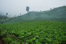 Foggy Cabbage Plantation