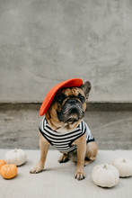 French Bulldog Dressed Up In A...