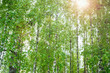 Birch grove, natural background
