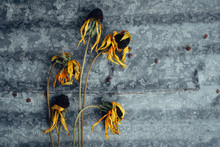 Dead Black-Eyed Susans On A Me...