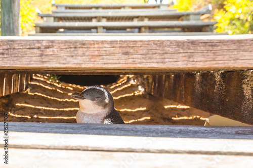 Little Penguin hidden under the step of a wooden stairway at Penguin Island in Rockingham, near Perth, Western Australia. Penguin Island is famous for its large penguin colony.