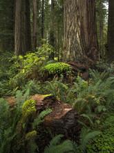 Redwood Forest Floor