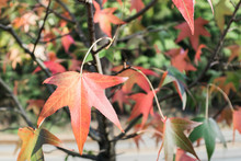 Close-up Of A Colorful Maple T...