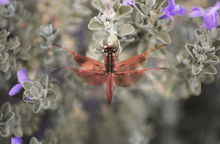 A Bright Red Dragonfly Rests O...