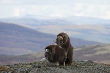 Muskoxen (Ovibos Moschatus), Dovrefjell Sunndalsfjella National Park, Norway