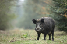 Portrait Of Wild Boar (Sus Scrofa), Germany