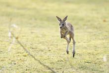 Eastern Grey Kangaroo (Macropu...